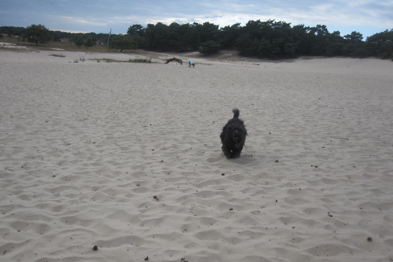 schapendoes janneke drunense duinen