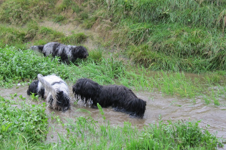 schapendoes wandeling met janneke in het water